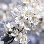 Close up of Cherry Blossom branch in full bloom with white flowers Stock Photos