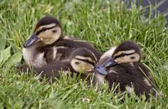 Baby Ducks Stock Photos