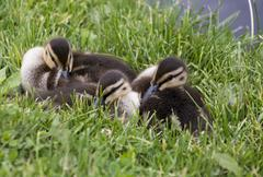 Baby Ducks - stock photo