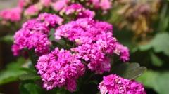 Kalanchoe flowers Stock Footage