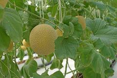 Cantaloupe melon growing in greenhouse Stock Photos