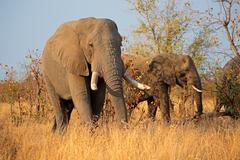 African bull elephants Stock Photos