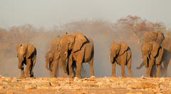 African elephants in dust - stock photo