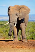 African elephant Stock Photos