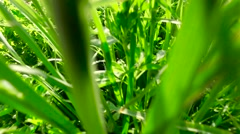 Young, green, lush grass in the rays of sunset. Walking on green meadow. Stock Footage