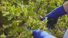 Woman cuts bush with scissors In the garden. close up Stock Footage