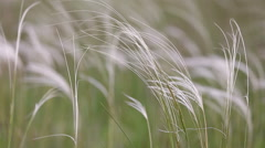 The stipa (feather grass) waving Stock Footage