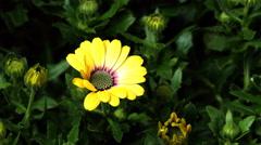 Time-lapse of African Daisy/Cape Marigold (Osteospermum ecklonis var.)  Stock Footage