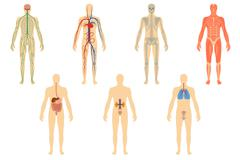 Set of human organs and systems Stock Illustration