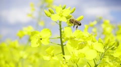 Bee and rapeseed flowers, slow motion - stock footage