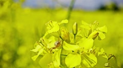 Small spider on the flowers of rapeseed, slow motion Stock Footage