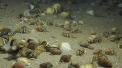 A large number of Small hermit crabs. - stock footage