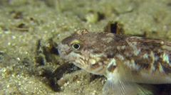 Monkey goby on the sandy bottom. Stock Footage