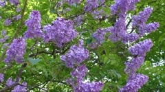 Flowering lilac tree in late spring Stock Footage