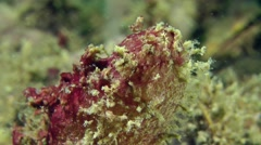 Dirty Sea-squirt (Ascidiella aspersa). - stock footage