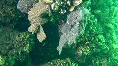 Golden Star Tunicate (Botryllus schlosseri). Stock Footage