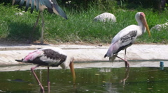 Painted Stork (Mycteria leucocephala) big wetland bird Stock Footage