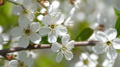 Bee pollinating flowering trees spring flowers slow motion nature summer Stock Footage