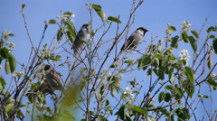 flock of sparrows perched on the branches of trees against the blue clear sky - stock footage