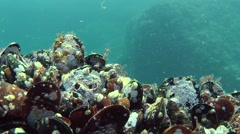 Group of mussels on a rock. Stock Footage