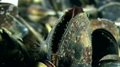 Movement of the mantle in slightly open mussels shell. Stock Footage
