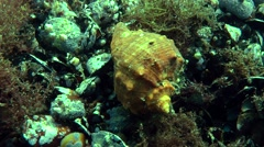 Rapana venosa on the mussel settlement. - stock footage