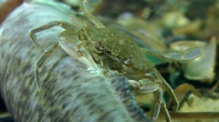 Swimming crab eating dead fish. - stock footage
