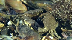Several Jaguar round crab (Xantho poressa) and Swimming crab together eat dead Stock Footage