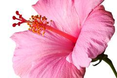 Pink hibiscus isolated - stock photo