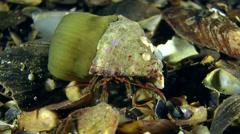 Hermit crab (Clibanarius erythropus). Stock Footage