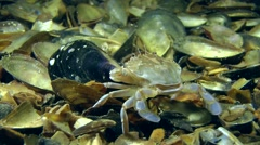 Swimming crab (Liocarcinus holsatus). Stock Footage