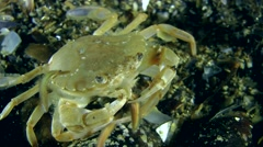 Swimming crab eats polychaete (Nereis sp.). Stock Footage