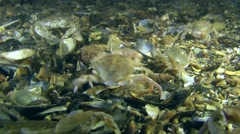 Mass struggle of Swimming crab. - stock footage