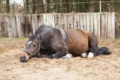pregnant mare - stock photo