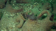 Fish hiding inside the ancient amphorae. Stock Footage