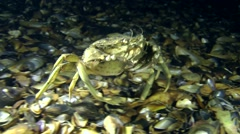 Big Green crab (Carcinus maenas) walking along the bottom. Stock Footage