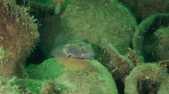 Big Knout goby lies among the ancient amphorae. Stock Footage