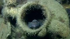 Goby in the neck of the ancient amphora. Stock Footage
