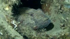 Goby using the ancient amphora as a house. Stock Footage