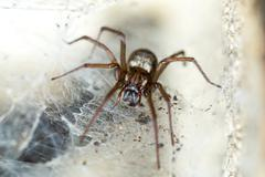 spider in the Liocranidae family on web - stock photo