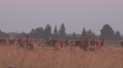 Deer animals herd grown in fenced captivity field. 4K Stock Footage