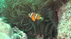 Anemone Fish Stock Footage