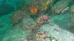 Solenostomidae Stock Footage