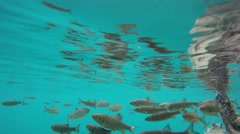 Underwater footage of a fish school in a lake - stock footage