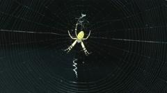 Spider (Argiope bruennichi) in its network. Stock Footage