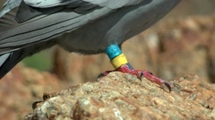 Rings on leg of carrier pigeon, close-up. Stock Footage