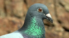Portrait of a carrier pigeon, close-up. Stock Footage