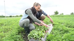Couple of farmers collecting radish in vegetable field - stock footage