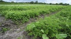 View of radish field in countryside - stock footage