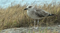 Young silvery seagull in the gusts of strong wind. Stock Footage